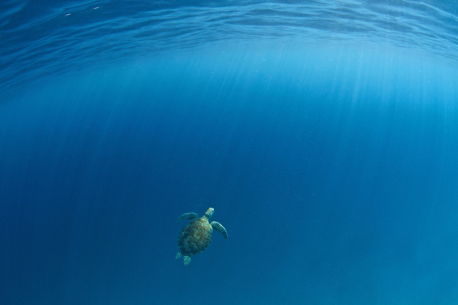 Green-sea-turtle-swimming-free
